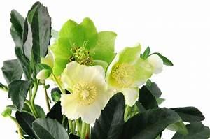 Tulpen Im Topf In Der Wohnung : christrose in der wohnung pflegen so gedeiht sie im topf ~ Buech-reservation.com Haus und Dekorationen