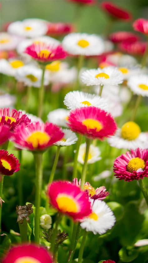 wallpaper daisies colorful pink white flower garden