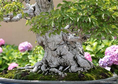 บอนไซ ศิลปะการย่อส่วนต้นไม้ใหญ่ ให้มาอยู่ในกระถางต้นไม้ ...