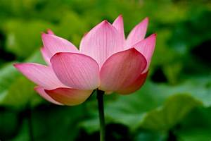 Zen And The Lotus Blossom Zen Moments