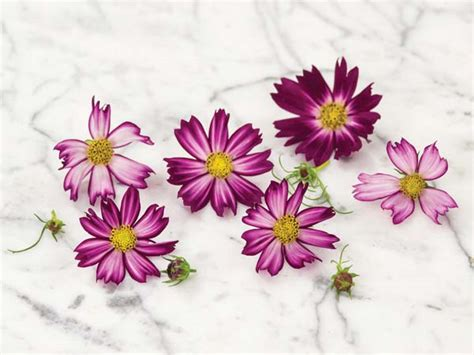 cosimo red white cosmos baker creek heirloom seeds