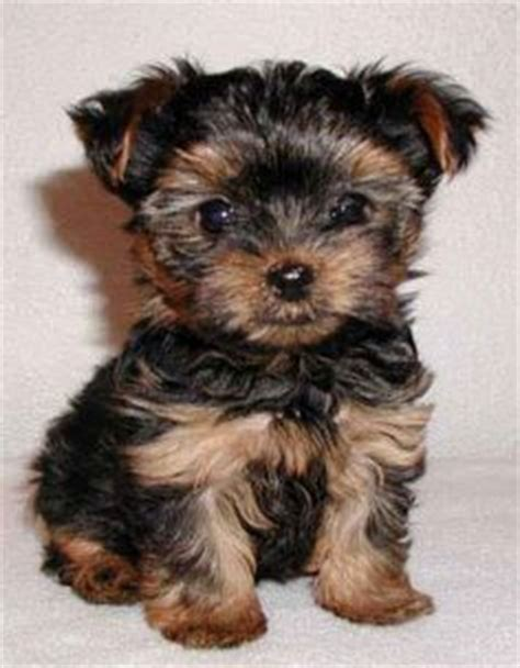 do teacup morkies shed 1000 ideas about small breeds