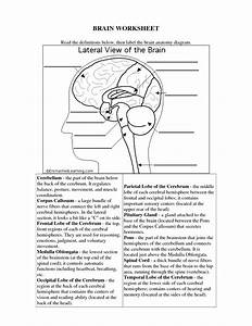 The Human Brain Worksheets For Kids