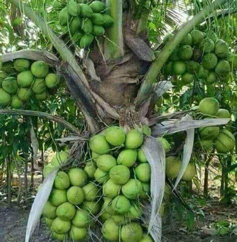 kelapa hibrida budidaya kelapa hibrida  menguntungkan