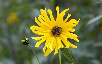 Afternoon Daisy African Yellow Flowers Wallpapers Flower