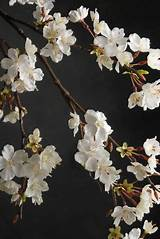 Cherry Blossom Branch 42in White Flowers