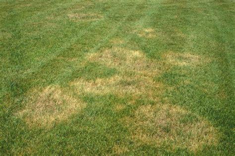 Brown Patch Fungus Fescue Lawn