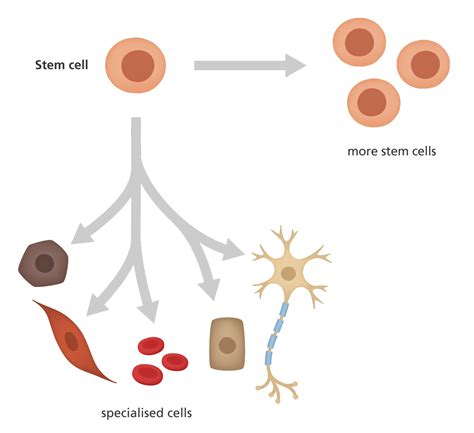 What Stem Cell Facts Yourgenome