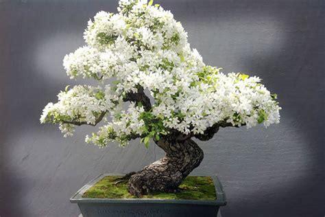 outdoor bonsai plants  bonsai plants pictures
