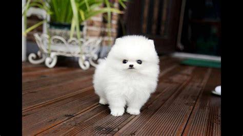 cuties teacup white pomeranian puppies  sale youtube