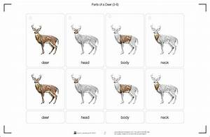 Montessori Materials Parts Of A Deer  Printed And Laminated