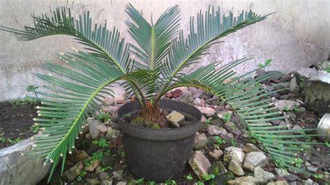 tips memperbanyak tanaman sikas youtube