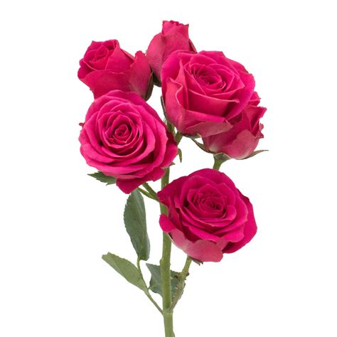 preserved flowers pink spray roses premium quality farm direct