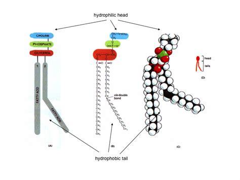 introduction  biology molecules  cells cells