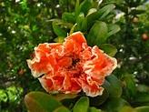 Flowering Pomegranate tree.   . on the hearth .   Pinterest