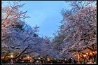 特愛日本 瘋旅行: 2017 日本.本州 [景點] 上野公園 (日本3大夜櫻) (櫻百選)