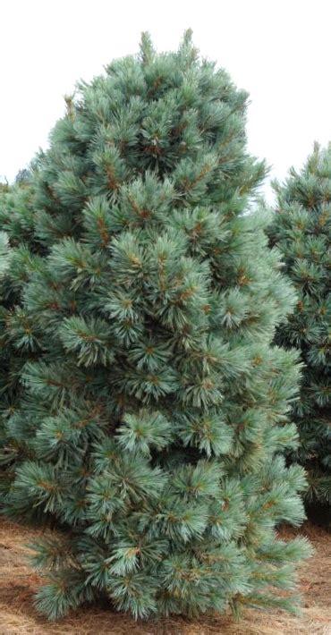 Ciedrupriede Korejas /Pinus koraiensis/ - Skuju koki ...