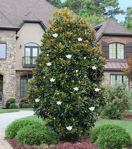 magnolia shrub varieties magnolia quot little gem quot hello hello plants garden supplies