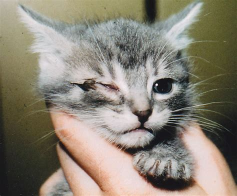 Conjunctivitis And Corneal Disease In Cats @ Animal Eye Care