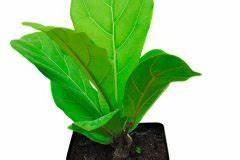 Gummibaum Verliert Blätter : geigenfeige verzweigen so regen sie sie zu trieben an ~ Lizthompson.info Haus und Dekorationen
