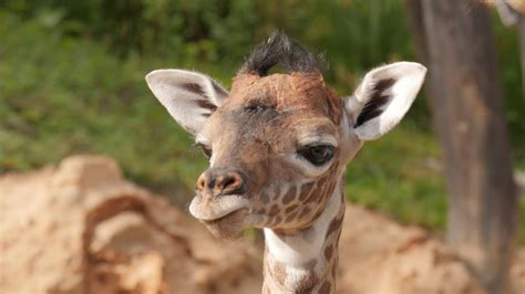 Baby Giraffe Gigi Makes Her Debut!