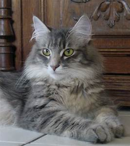 grey tabby norwegian forest cat - Amina Razzane ...