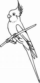 Cockatiel Coloring Drawing Designlooter Bird Drawings 53kb 2500 Getdrawings sketch template