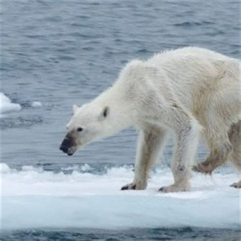 photographer  horribly thin polar bear hopes