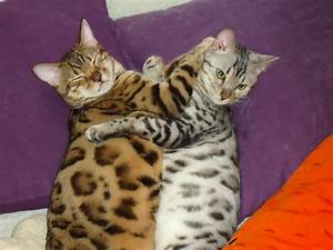 2X SHOW QUALITY GOLD AND SILVER BENGAL KITTENS | London ...