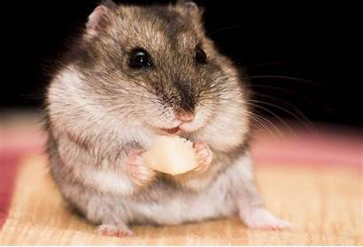 Hamster Nails Eating Criceto Che Mangia Hamsters