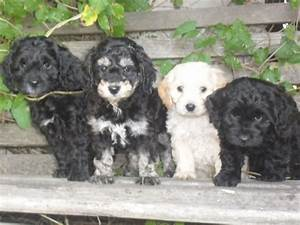 Images For > Toy Poodle And Cocker Spaniel Mix | Pets ...
