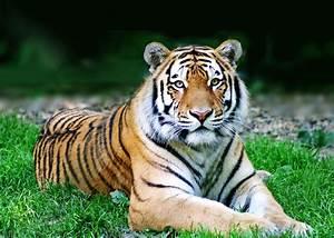 Aszedent Berechnen : chinesisches sternzeichen tiger tierkreiszeichen astrologie ~ Themetempest.com Abrechnung