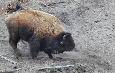 bison  yellowstone national park butts tosses  year