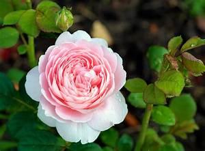 rosen pflanzen garten rasenpflege selbstde With französischer balkon mit rosen für den garten