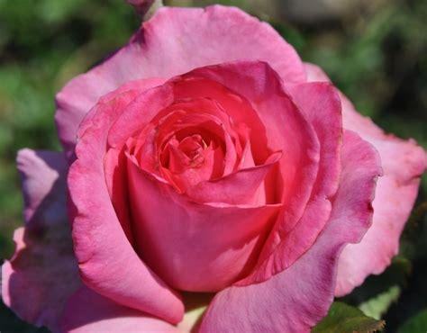esmeralda rose hybrid tea rose pink rose palatine roses