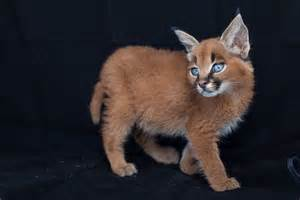 caracal cats caracal kittens 9 weeks 9 fiona ayerst s