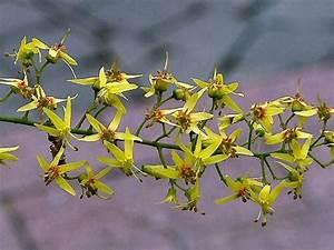 Austamaria Flower Diagram