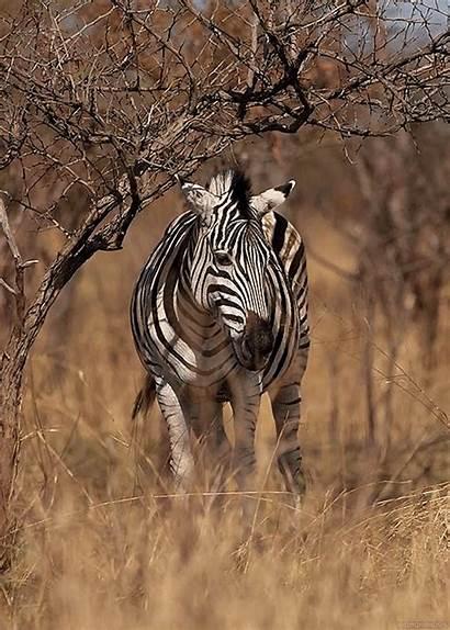 Animated Animals Gifs Zebra Animal Animation Zebre