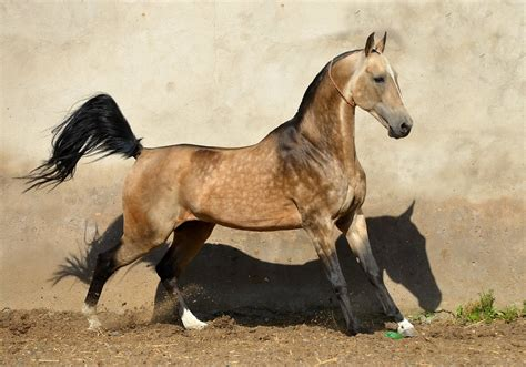 Akhal Teke Horse Info, Colors, Temperament, History, Pictures