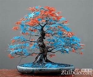 Bonsai Arten Für Anfänger : 7 arten f r w hlen 20 st cke rare blau maple samen bonsai baum pflanzen topf anzug f r diy ~ Sanjose-hotels-ca.com Haus und Dekorationen