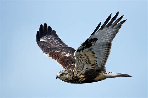 rough legged hawk takes off birdnote