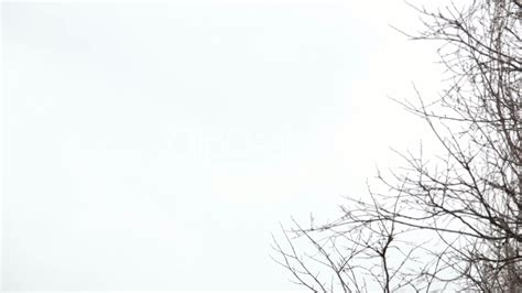 tree branches   background  white sky royalty