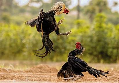 Roosters Fighting Fight Looking Photographs Magnificent During