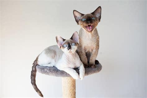Beautiful Devon Rex Cats Sitting On The Scratching Post