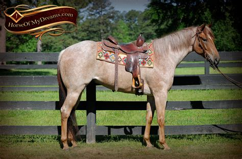 roan scotch bye gelding aka horses aqha horse he dreams