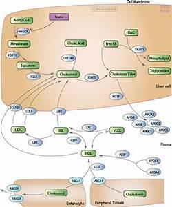 Statin Pathway  Pharmacodynamics