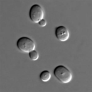 File:S cerevisiae under DIC microscopy.jpg - Wikimedia Commons