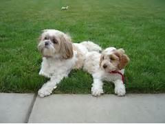 Shih Tzu My Favorite Breed | Dog Breeds Picture