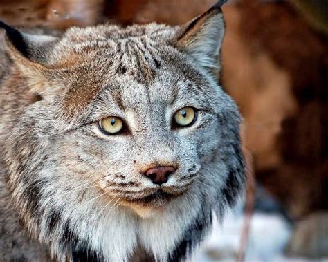 canadian lynx   species endangered  climate