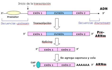 transcripcion inversa